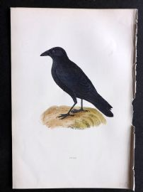 Morris 1897 Antique Hand Col Bird Print. Crow